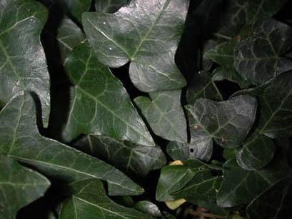 Edera, foglie - Foto di Giampaolo Filippucci, Tiziana Ravagli