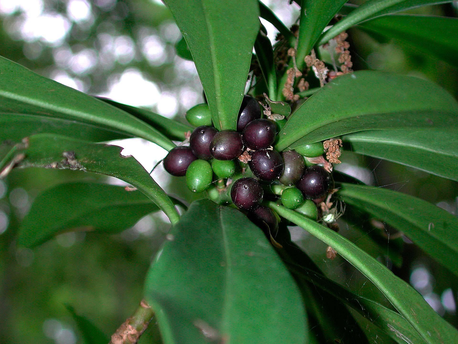 Dafne laurella, olivella