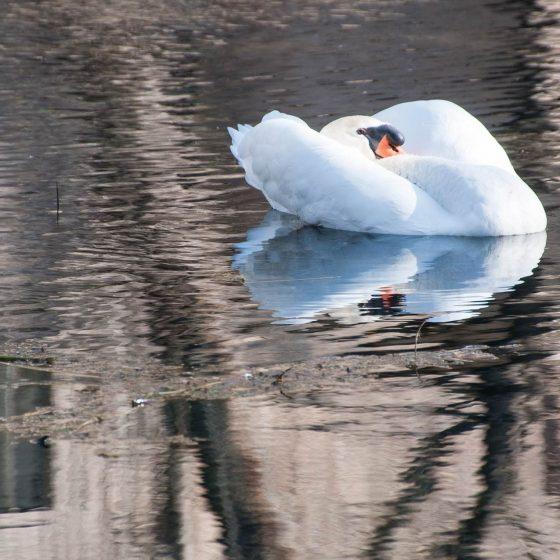 Cigno reale alle Fonti del Clitunno - Foto di Giampaolo Filippucci, Tiziana Ravagli