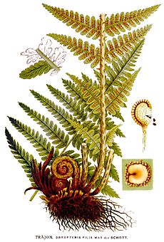 Dryopteris filix mas, felce maschio [Da wikimedia This image is in the public domain because the copyrights of the original work of art have expired. It is a reproduction of a painting by the Swedish botanist C. A. M. Lindman (1856–1928), taken from his book(s) Bilder ur Nordens Flora (first edition published 1901–1905, supplemented edition 1917–1926?). See Projekt Runeberg for more information and for the source scans, and biolib.de/MPIPZ for processed image versions. L'autore è deceduto nel 1928, quindi quest'opera è nel pubblico dominio anche in tutti i Paesi e nelle aree in cui la durata del copyright è la vita dell'autore più 80 anni o meno. Quest'opera è nel pubblico dominio negli Stati Uniti in quanto pubblicata (o registrata all'U.S. Copyright Office) prima del 1º gennaio 1923. Questo file è stato identificato come libero da restrizioni conosciute riguardanti le leggi sul copyright, compresi tutti i diritti connessi e vicini.]