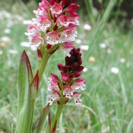 Neotinea ustulata, orchidea bruciacchiata, monte Brunette, Trevi