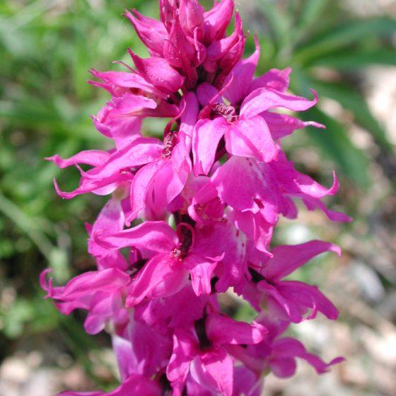 Orchis mascula, orchidea .maschio, Trevi, pascoli monti Serano - Brunette