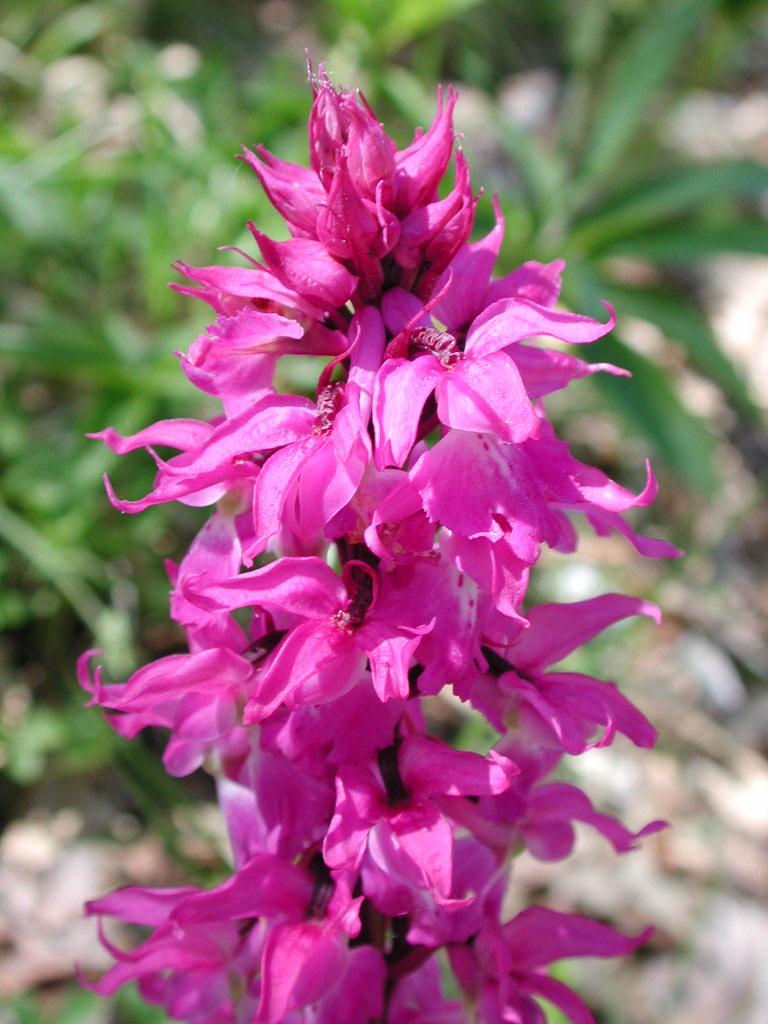 Orchidea maschio, orchide maschia