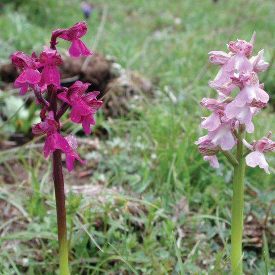 Anacamptis morio, orchidea morio (in due colorazioni differenti)