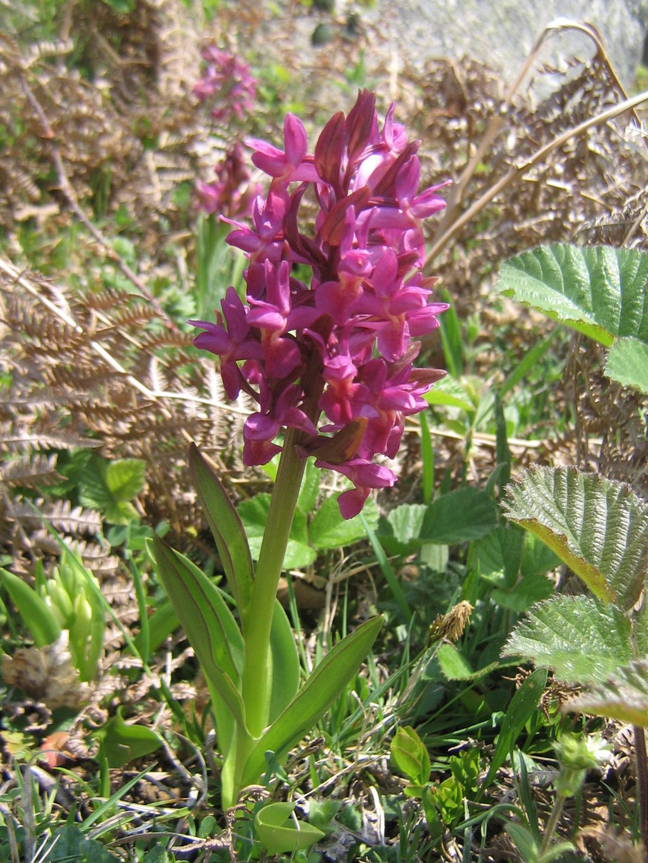 Orchidea sambucina, dactiloriza sambucina