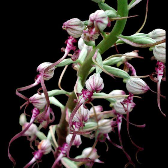 Himantoglossum adriaticum, barbone adriatico
