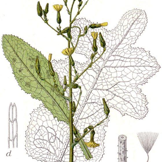 Lactuca virosa [tavola tratta da Johann Georg Sturm (Painter: Jacob Sturm) Figure 44 from Deutschlands Flora in Abbildungen at www.biolib.de]