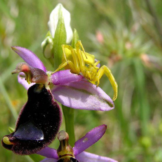 Ragno Thomisus onustus su Ophrys bertolonii