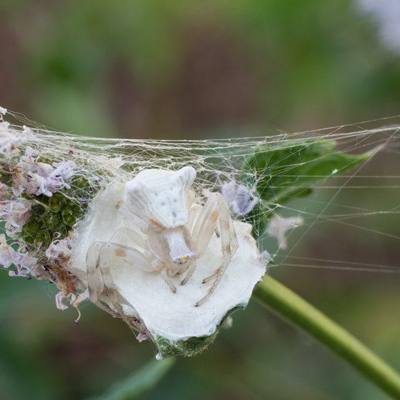 Ragno Thomisus onustus su pianta di menta