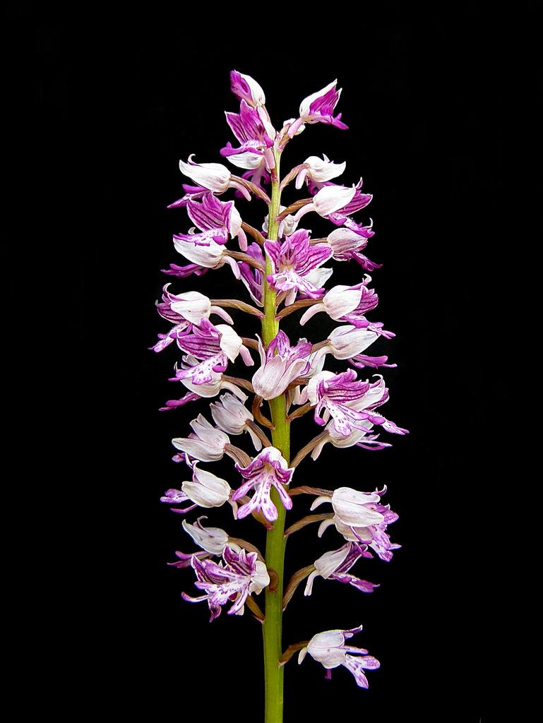 Orchidea militare
