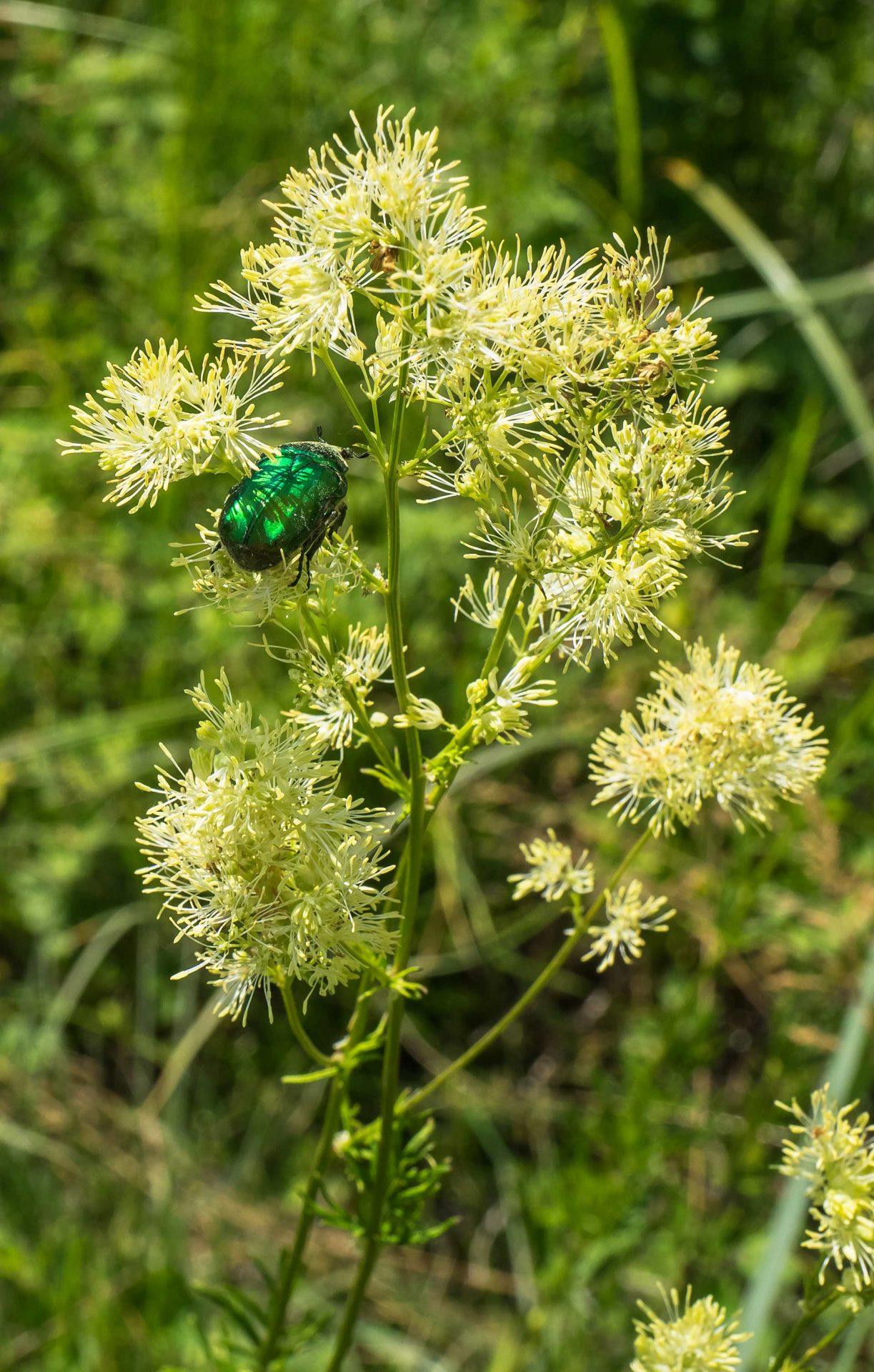 Cetonia aurata – cetonia dorata, scarabeo dorato, la cantilena
