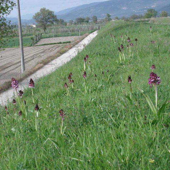 Orchis purpurea, orchidea maggiore, Trevi, argini del torrente Tatarena
