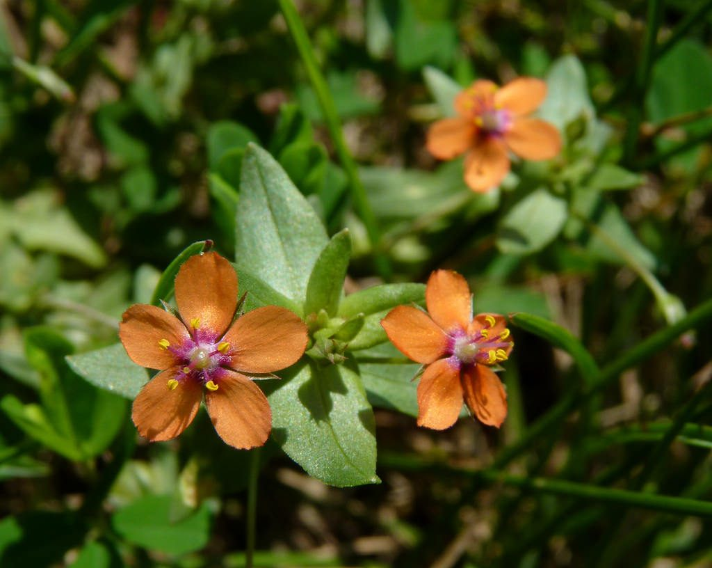 Anagallis arvensis, mordigallina [photo credit: Dendroica cerulea www.flickr.com Scarlet Pimpernel via photopin creativecommons.org/licenses/by-nc-sa/2.0]