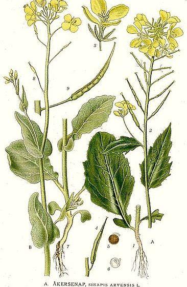 Sinapis arvensis [da wikimedia, tavola tratta da Carl Axel Magnus Lindman - www.biolib.de «Bilder ur Nordens Flora» Stockholm]