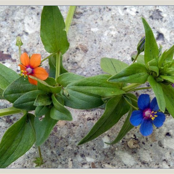 Anagallis arvensis, mordigallina a fiori rosso-arancio, a fiori blu [photo credit: Brigitte Rieser www.flickr.com Anagallis arvensis (Acker-Gauchheil) & Anagallis arvensis f. azurea 2011-06 via photopin creativecommons.org/licenses/by-nc-nd/2.0]