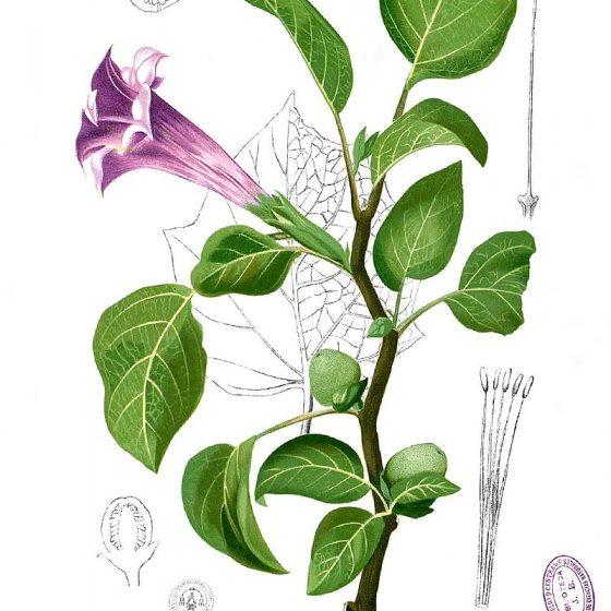 Datura metel var. fastuosa [da wikimedia tavola da Francisco Manuel Blanco (O.S.A.) Flora de Filipinas [...] Gran edicion [...] [Atlas I] Pubblico dominio]