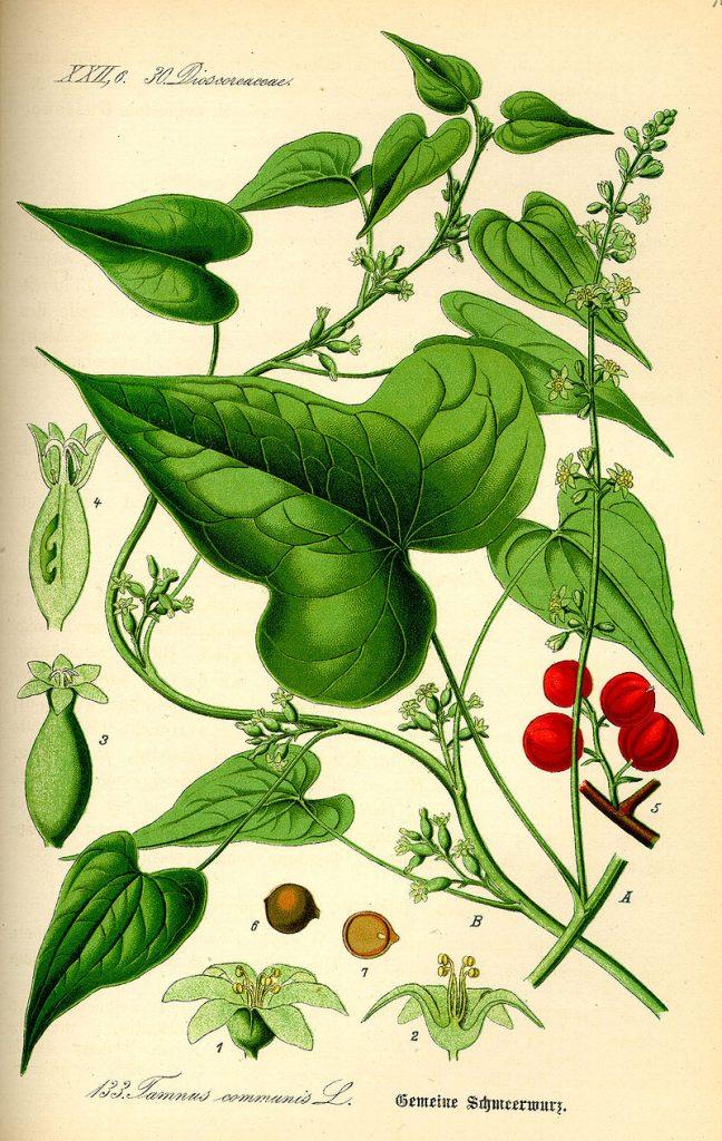 Dioscorea communis [da wikimedia, pubblico dominio it.wikipedia.org/wiki/]