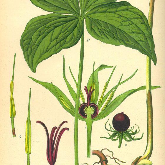 Paris quadrifolia [da wikimedia, pubblico dominio tavola tratta da: Prof. Dr. Otto Wilhelm Thomé Flora von Deutschland, Österreich und der Schweiz, 1885, Gera, Germany]