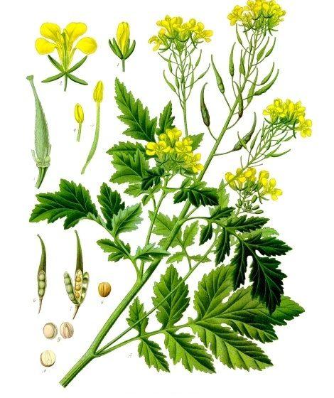 Sinapis alba [da wikimedia, tavola tratta da Franz Eugen Köhler, Köhler's Medizinal-Pflanzen - List of Koehler Images]