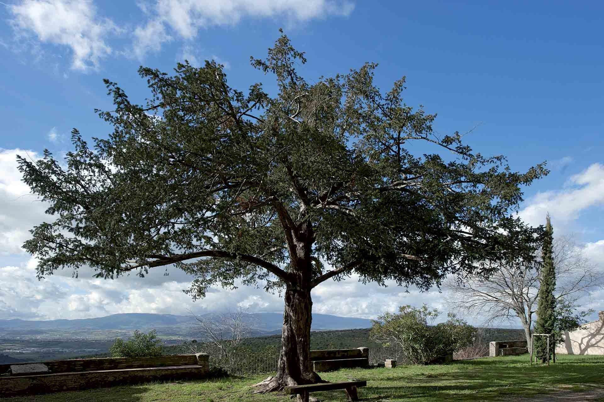 Tasso, tasso comune, albero della morte