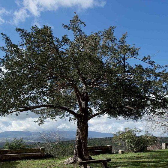 Tasso comune, Spoleto, Bazzano