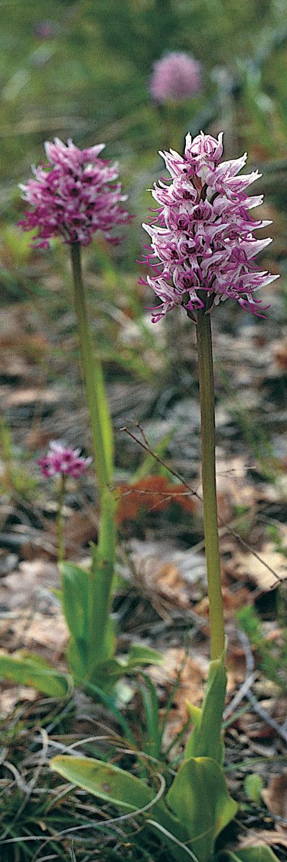 Orchidea scimmia