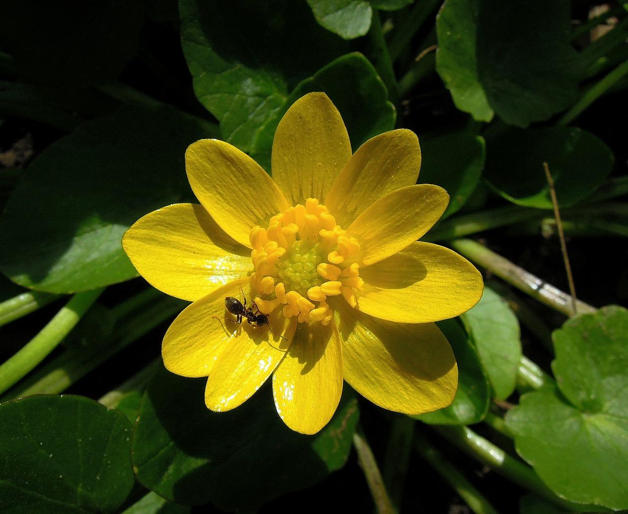 Fiori Gialli 8 Petali.Ranuncoli Ambiente E Biodiversita