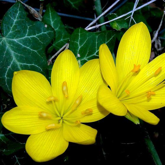 Sternbergia lutea, sternbergia gialla