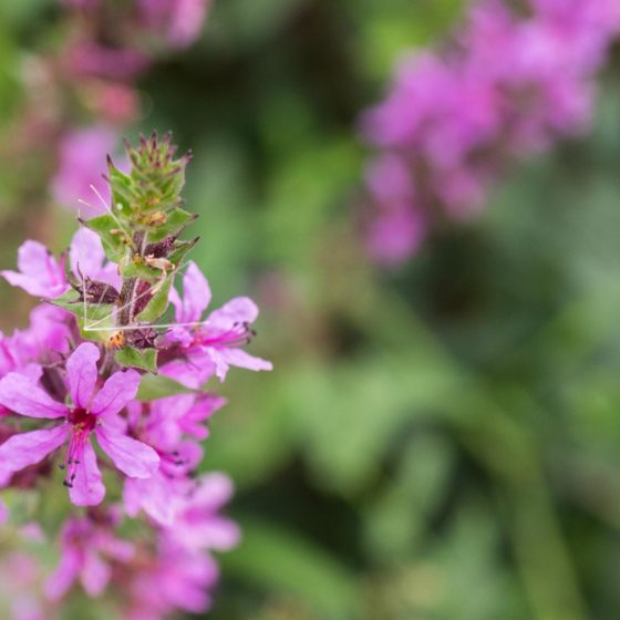 Lythrum salicaria, salcerella comune