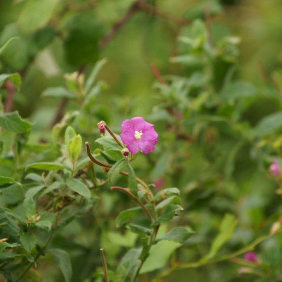 Epilobium hirsutum [photo credit: bramblejungle www.flickr.com Great Willowherb (Epilobium hirsutum) via photopin creativecommons.org/licenses/by-nc/2.0]