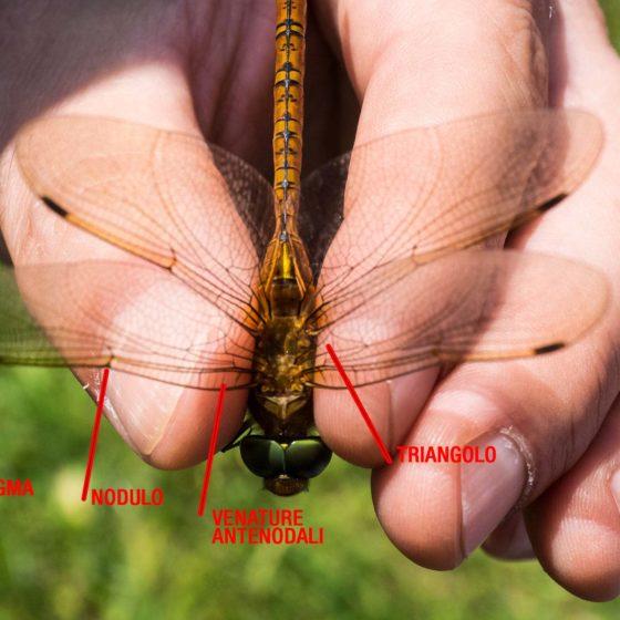 Le ali di una libellula