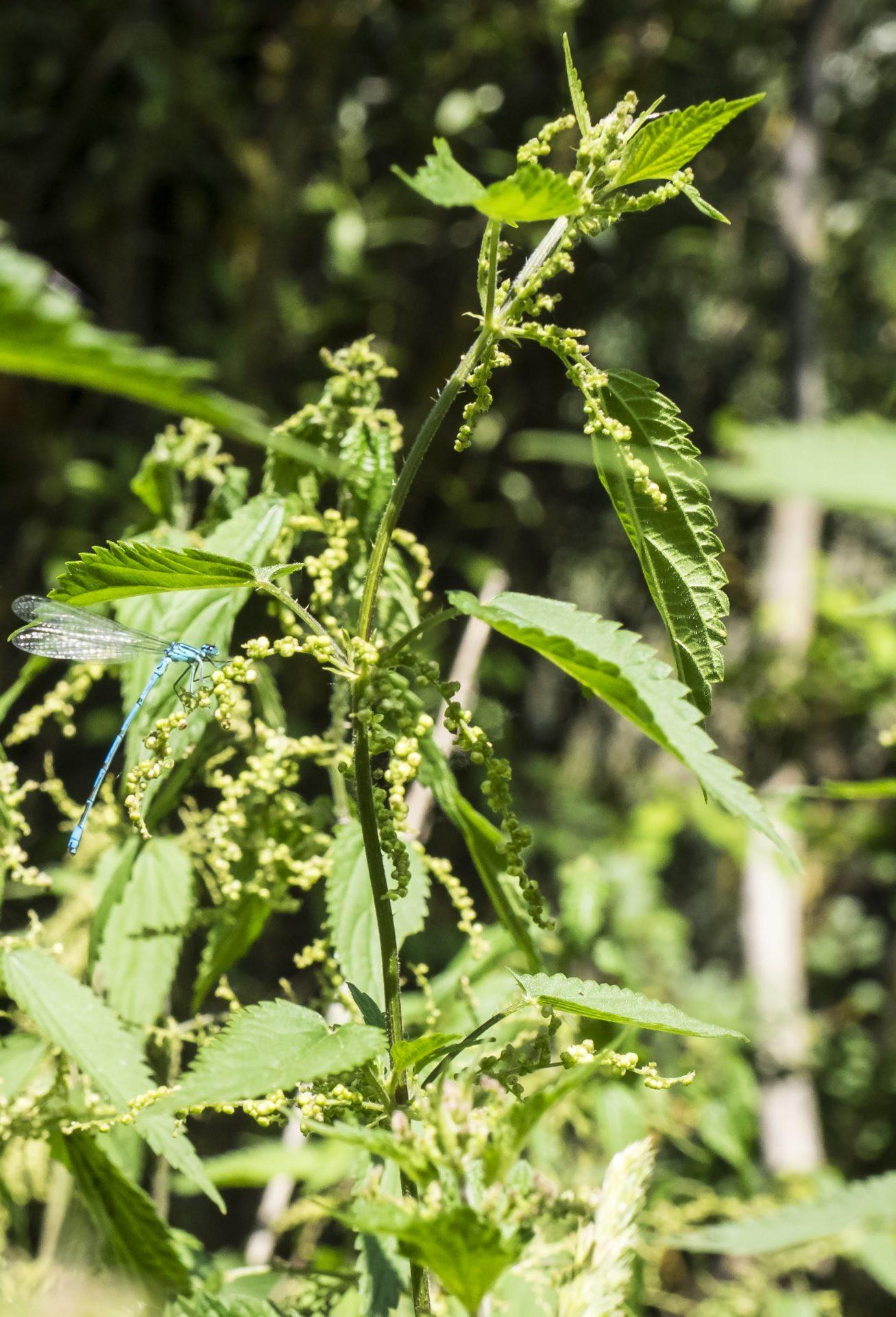La damigella Coenagrion puella, Libellula azzurrina [foto di Giampaolo Filippucci & Tiziana Ravagli]
