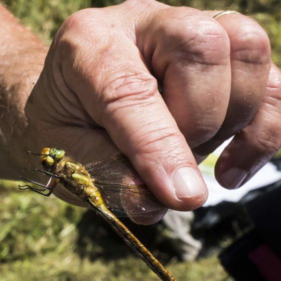 DRAGONFLY OCCHIVERDI (Aeshna isosceles)- Colfiorito [foto di Giampaolo Filippucci & Tiziana Ravagli, per il progetto MontagneAperte]