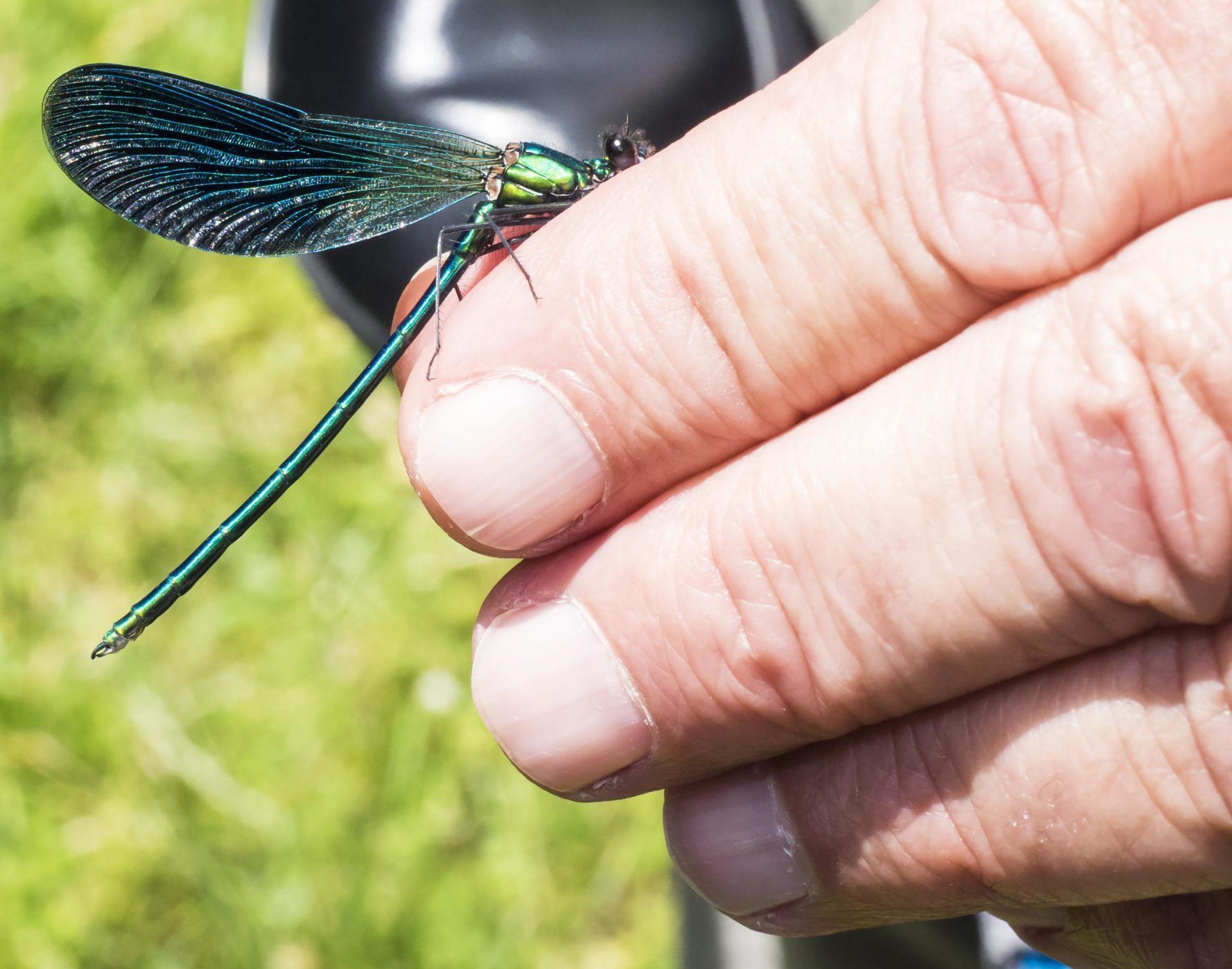 DAMIGELLA - Calopteryx splendens - Colfiorito
