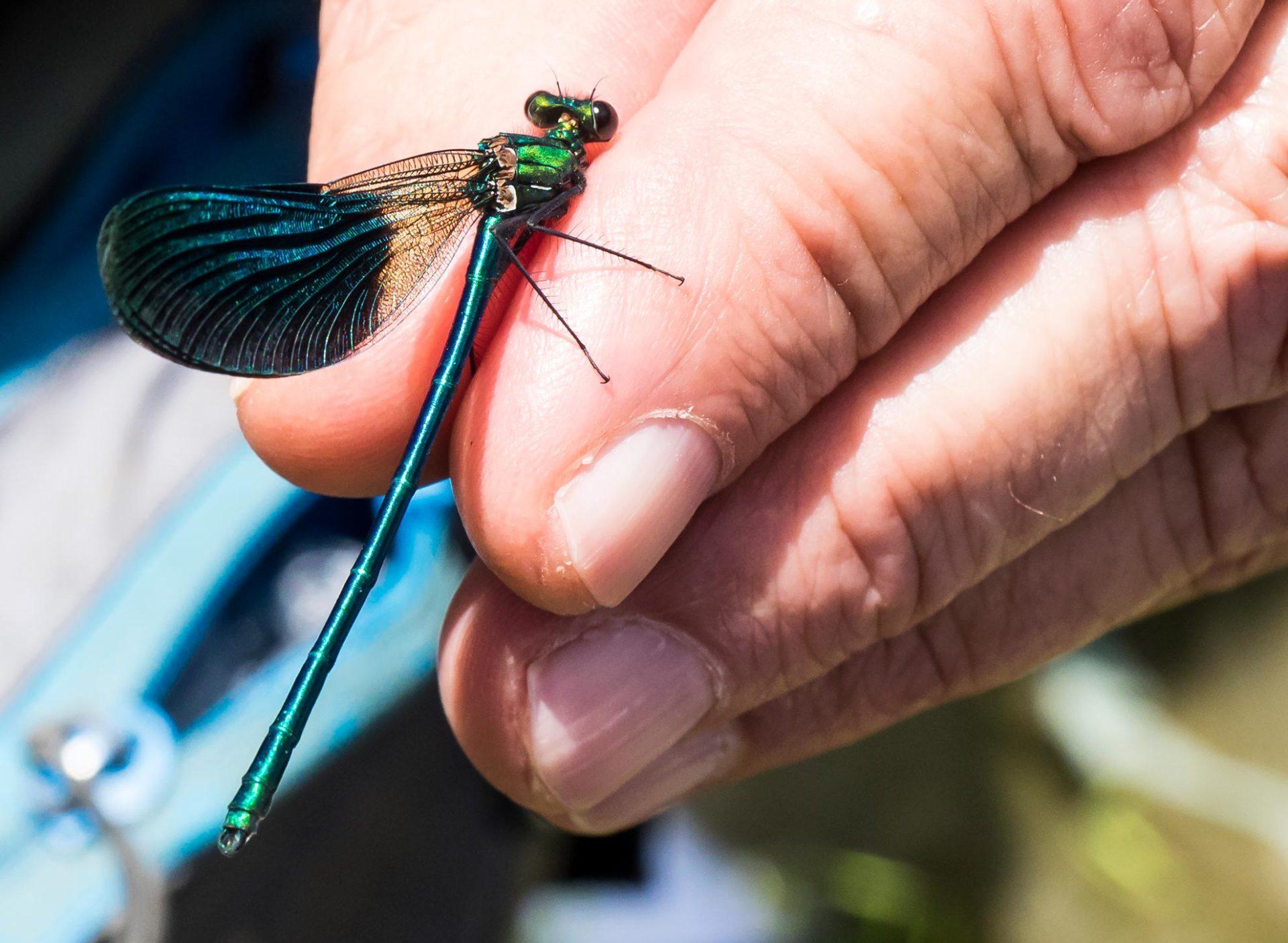 Calopteryx splendens – damigella splendente comune, splendente comune