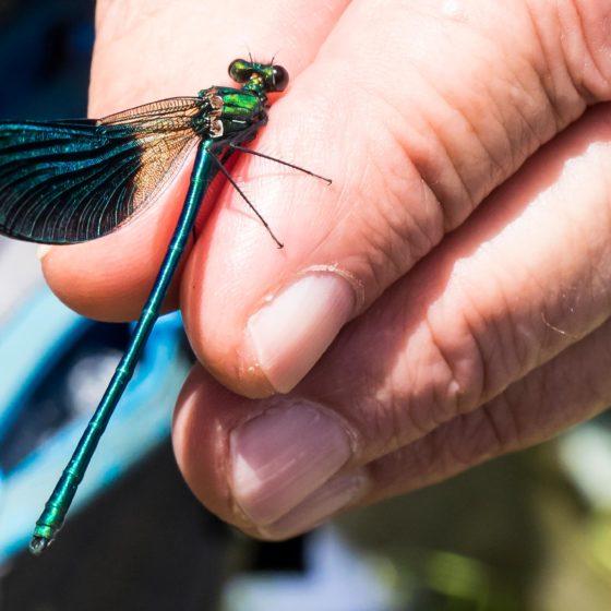 DAMIGELLA, Zigotteri, Calopteryx splendens [foto di Giampaolo Filippucci & Tiziana Ravagli]