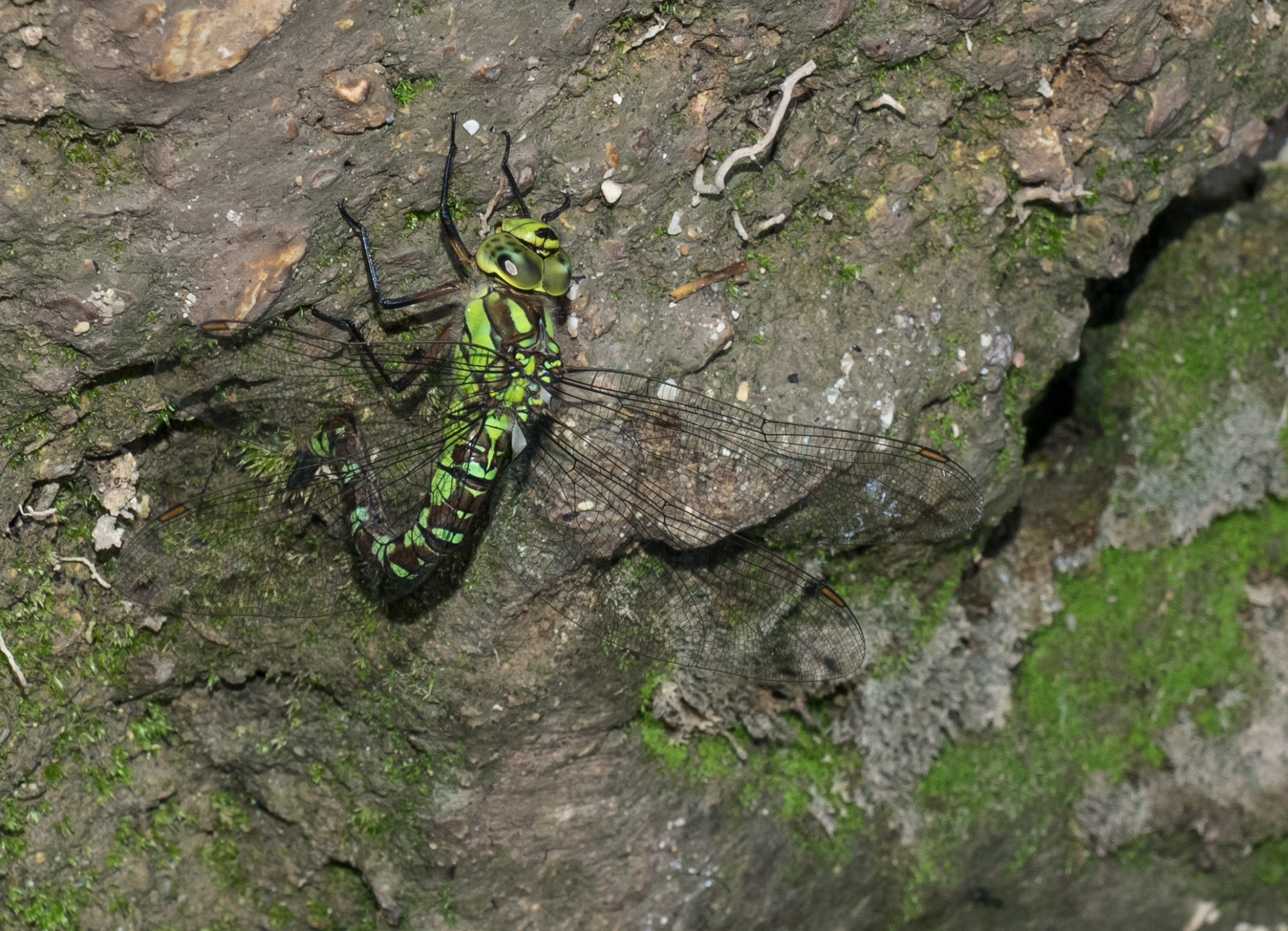 Aeshna cyanea - dragone verdeazzurro