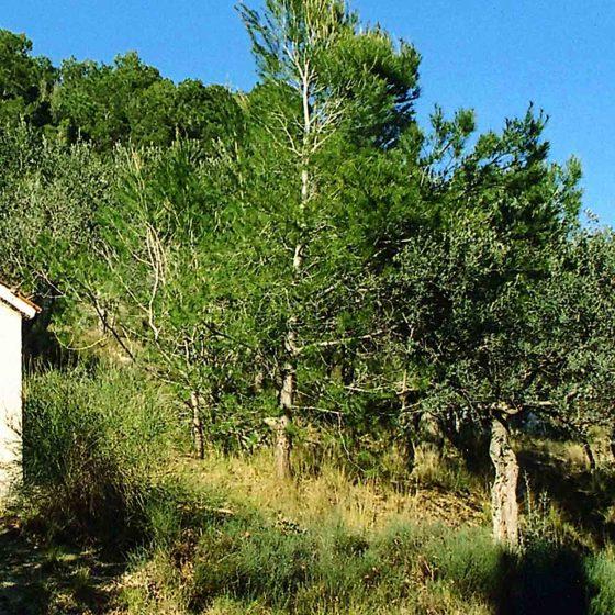 Trevi - Matigge, Monte di Matigge (Pineta) [TRE350]