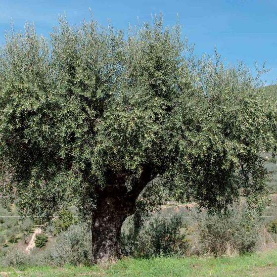 Olivo, Campello sul Clitunno, La Bianca