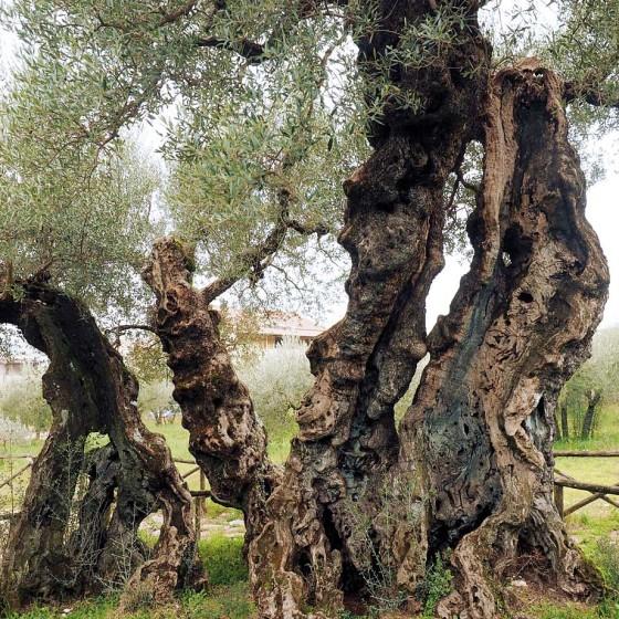 Olivo – Trevi, Bovara, Corciano (o Carpiano) – olivo di Sant'Emiliano