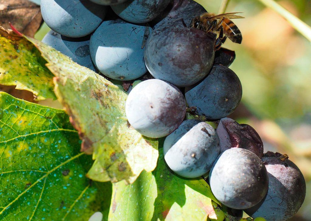 Un'ape sull'uva - Foto di Giampaolo Filippucci, Tiziana Ravagli