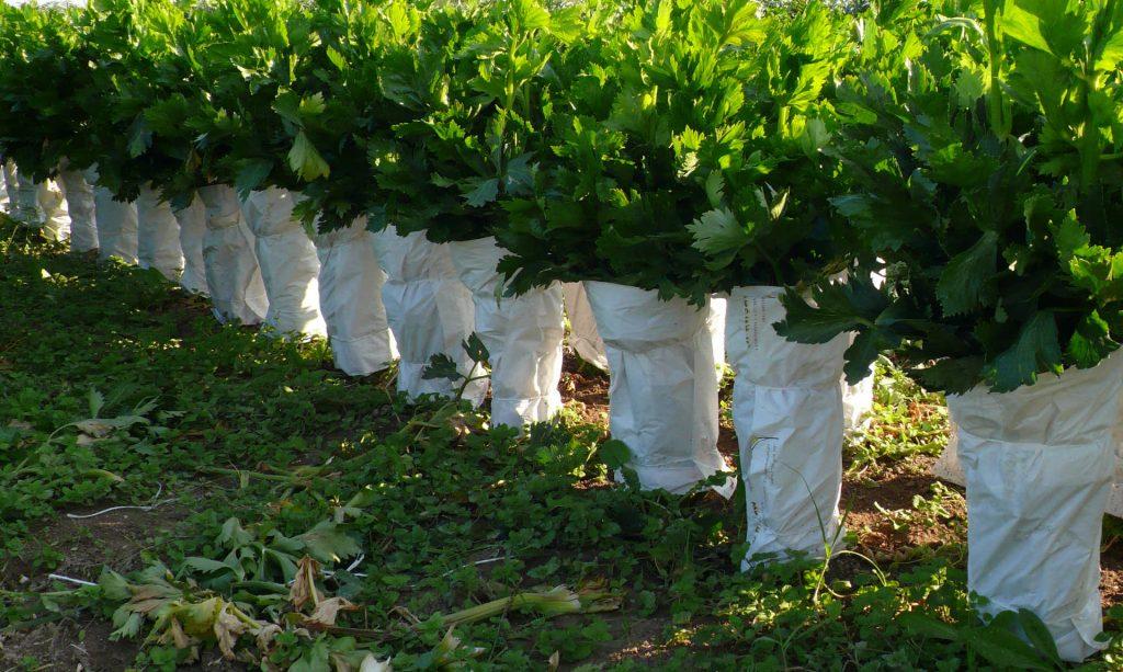 Il sedano nero di Trevi, nella fase di imbiancamento con le piante 'incartate'