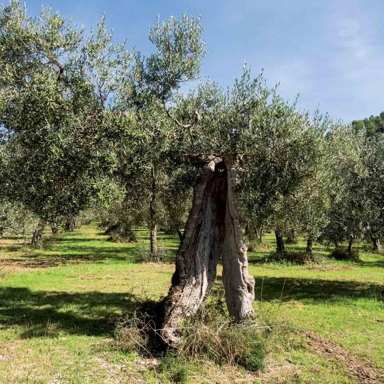 La Bianca, olivo