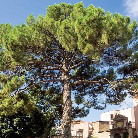 Pino domestico - Foligno, palazzo Brunetti-Candiotti