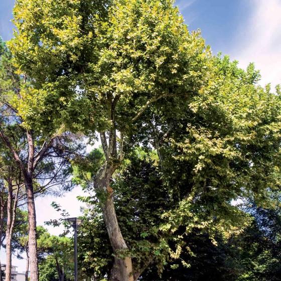 Platano comune - Foligno, parco dei Canapè