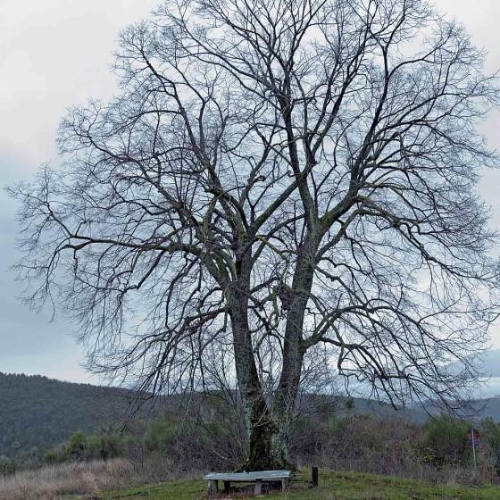 Tiglio selvatico - Bettona, monte Cinque Querce