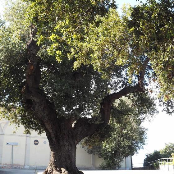 Leccio (1) (2 sullo sfondo a destra) – Trevi, convento dei Cappuccini (cimitero)
