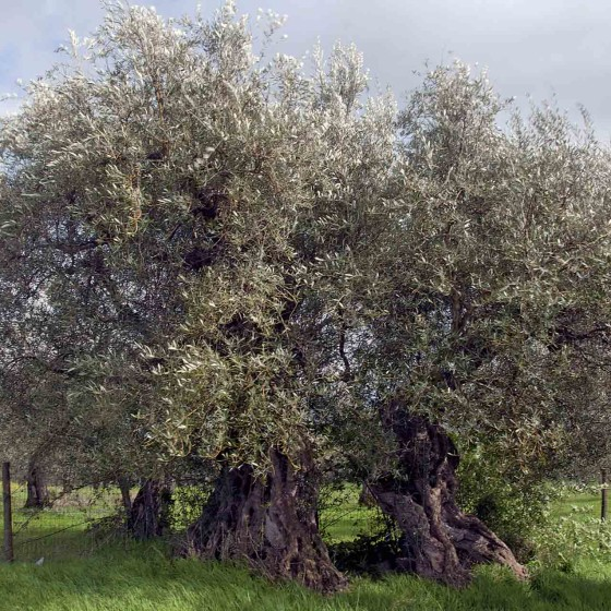 Olivo - Giano dell'Umbria, Camporeggiano