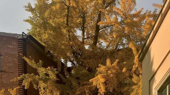Ginkgo biloba – Spoleto, viale G. Matteotti