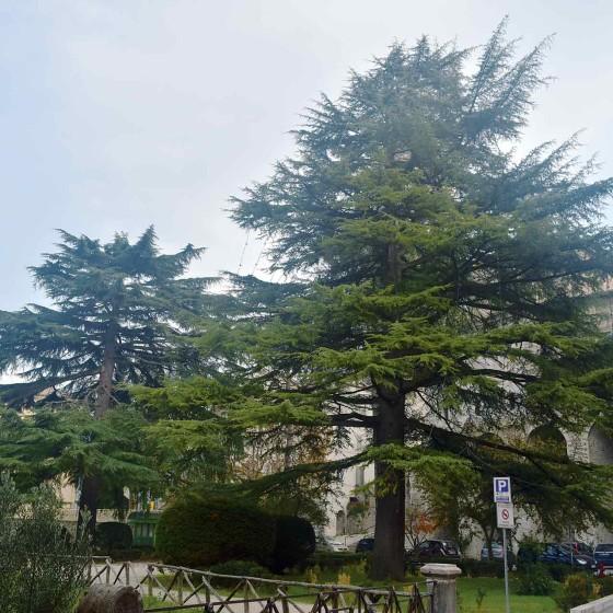Cedro dell'Himalaya - Spoleto, piazza della Signoria, giardini pubblici (2)